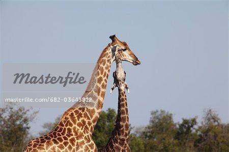 Two Giraffe,  Kruger National Park, South Africa