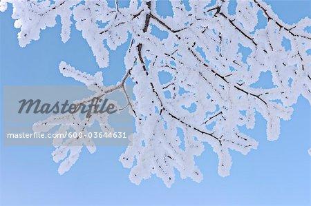Givre sur les Branches des arbres, Canton de Zug, Suisse