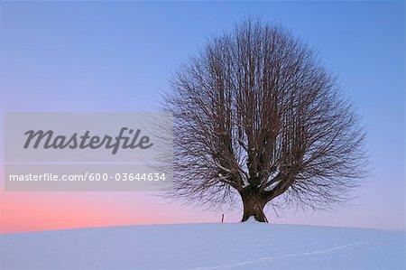 Linde auf Hügel bei Sonnenuntergang, Kanton Bern, Schweiz