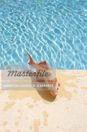 Jouet poissons sur le bord de la piscine, Sanary-sur-Mer, Var, Provence, Provence-Alpes-Cote d'Azur, France