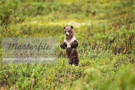 Jeune ours brun se tient à la recherche de sa mère dans le col de la Sable, Denali National Park et Preserve, intérieur de l'Alaska, l'été