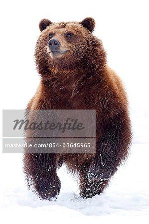 Un ours brun adulte traverse de neige fraîche au centre de Conservation de la faune de l'Alaska, Portage, centre-sud de l'Alaska, hiver, CAPTIVE