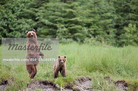 Femelle ours brun se tient avec son ourson dans les hautes herbes, Prince William Sound, montagnes Chugach, forêt nationale de Chugach, centre-sud de l'Alaska, l'été