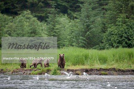 Ours brun ét promenades le long d'un ruisseau avec ses montagnes Chugach, forêt nationale de Chugach, trois oursons, détroit du Prince William, en Alaska, Centre-Sud, l'été