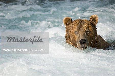 Adulte natation ours brun dans les eaux turbulentes en aval des chutes de Brooks à Katmai National Park, sud-ouest de l'Alaska, l'été