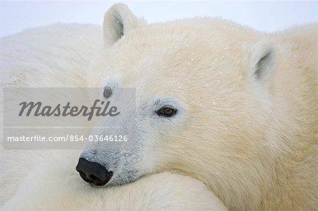 Un ourson polaire repose sa tête sur sa mère en hiver coulbaux, Manitoba, Canada,