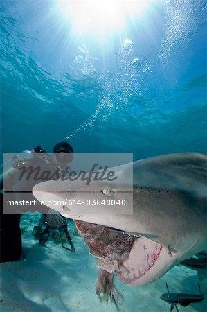 Taucher speist Lemon Shark