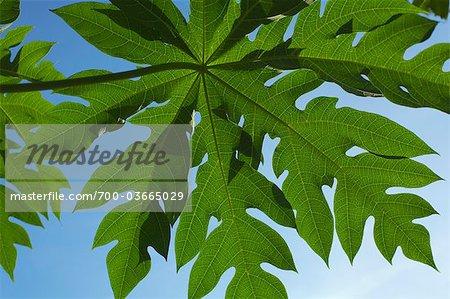 Gros plan de papaye feuilles, Ubon Ratchathani, Province d'Ubon Ratchathani, Thaïlande