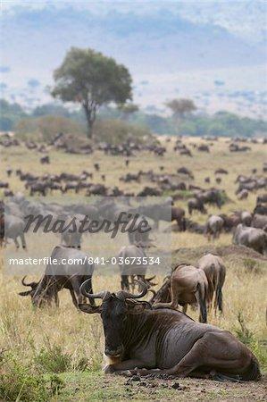 Gnou (Connochaetes taurinus), Masai Mara, Kenya, Afrique de l'est, Afrique