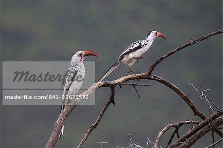 Red-billed hornbills (Tockus enythrorhynchus), Samburu National Park, Kenya, East Africa, Africa