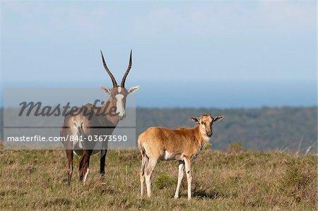 Blesbok (Damaliscus dorcas), Kariega Game Reserve, South Africa, Africa