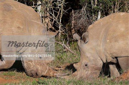 White rhinoceros (Caratotherium simum), Kariega Game Reserve, Afrique du Sud, Afrique