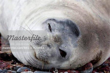 Weddell seal (Leptonychotes weddellii), Half Moon Island, Shetland Islands, Antarctic, Polar Regions