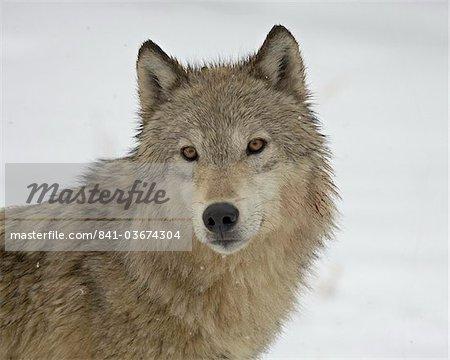 Gray Wolf (Canis lupus) dans la neige en captivité, près de Bozeman, Montana, États-Unis d'Amérique, l'Amérique du Nord