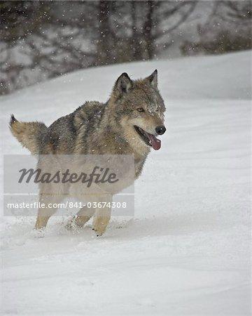 Gray Wolf (Canis lupus) en cours d'exécution dans la neige en captivité, près de Bozeman, Montana, États-Unis d'Amérique, l'Amérique du Nord