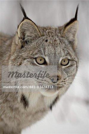 Lynx du Canada (Lynx canadensis) dans la neige en captivité, près de Bozeman, Montana, États-Unis d'Amérique, l'Amérique du Nord