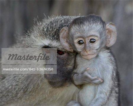 Vervet Monkey (Chlorocebus aethiops) enfant et mère, Kruger National Park, Afrique du Sud, Afrique