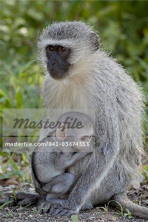 Vervet Monkey (Chlorocebus aethiops) mère et enfant, Parc National de Kruger, Afrique du Sud, Afrique