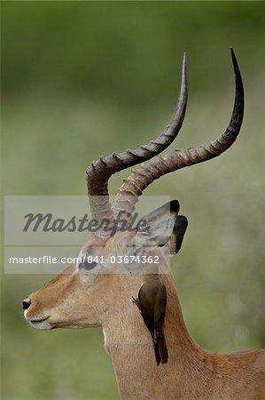 Mâle Impala (Aepyceros melampus) avec un Red-Billed Piquebœuf (Buphagus erythrorhynchus), Parc National de Kruger, Afrique du Sud, Afrique