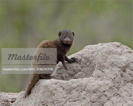 Jeune naine Mongoose (Helogale parvula), Parc National de Kruger, Afrique du Sud, Afrique