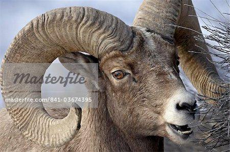 Mouflons (Ovis canadensis) ram alimentation, Parc National de Yellowstone, Wyoming, États-Unis d'Amérique, Amérique du Nord