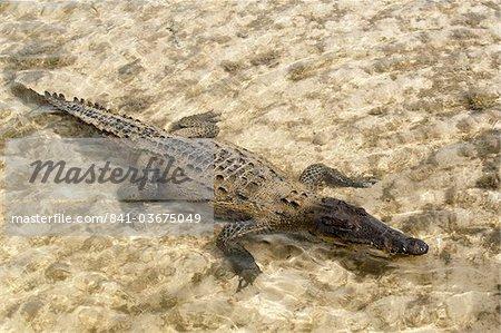 Crocodile marin dans Punta Sur Park, Isla de Cozumel (Cozumel Island), Cozumel, au large du Yucatan, Quintana Roo, Mexique Amérique du Nord
