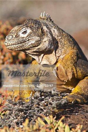 Galapagos land iguana (Conolophus subcristatus), Isla Plaza (Plaza island), Galapagos Islands, UNESCO World Heritage Site, Ecuador, South America