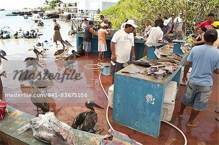 Fischmarkt, Puerto Ayora, Isla Santa Cruz (Santa Cruz Island), Galapagos-Inseln, Ecuador, Südamerika