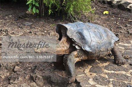Diego, une tortue géante (Geochelone nigra) à la Station de recherche Charles Darwin, Parc National des Galapagos, Puerto Ayora Isla Santa Cruz (Santa Cruz island), aux îles Galapagos, Équateur, Amérique du Sud