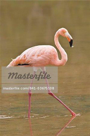 Pink flamingo (Phoenicopterus ruber), Point Cormorant, Isla Santa Maria (île Floreana), aux îles Galapagos, patrimoine mondial de l'UNESCO, Equateur, Amérique du Sud