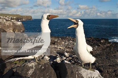 Nazca Booby (Sula dactylatra), Suarez Point, Isla Espanola (île de la hotte), aux îles Galapagos, patrimoine mondial de l'UNESCO, Equateur, Amérique du Sud