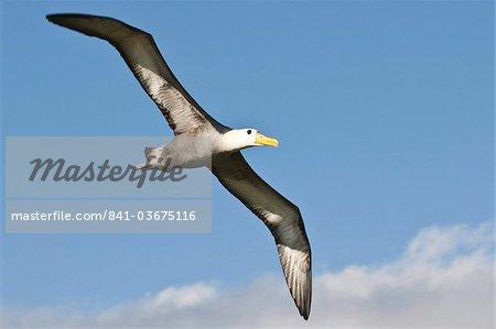 Agita albatross (Phoebastria irrorata), Suarez Point, Isla Espanola (île de la hotte), aux îles Galapagos, Equateur, Amérique du Sud