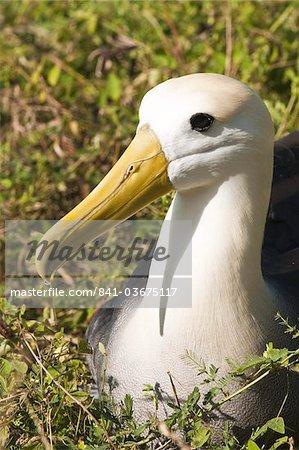 Agita albatross (Phoebastria irrorata), Suarez Point, Isla Espanola (île de la hotte), aux îles Galapagos, patrimoine mondial de l'UNESCO, Equateur, Amérique du Sud