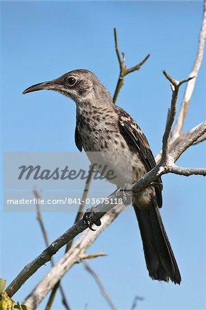 Mockingbird Hood (Nesomimus macdonaldi), Suarez Point, Isla Espanola (île de la hotte), aux îles Galapagos, patrimoine mondial de l'UNESCO, Equateur, Amérique du Sud
