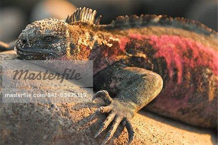 Iguane marin (Amblyrhynchus cristatus), Suarez Point, Isla Espanola (île de la hotte), aux îles Galapagos, patrimoine mondial de l'UNESCO, Equateur, Amérique du Sud
