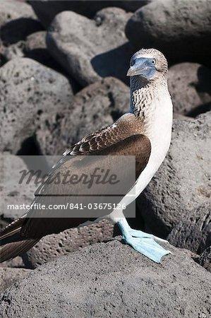 Fou de pied bleu (Sula nebouxii), Isla San Cristobal (île de San Cristobal), aux îles Galapagos, l'UNESCO World Heritage Site, Equateur, Amérique du Sud au large de Lobos d'Isla