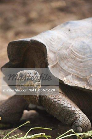 Tortue géante (Geochelone nigra) à le Galapaguera de Cerro Colorado, Centre d'élevage de tortue, Isla San Cristobal (île de San Cristobal), aux îles Galapagos, patrimoine mondial de l'UNESCO, Equateur, Amérique du Sud