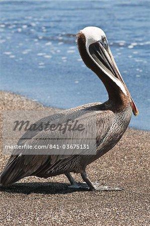 Brown pelican (Pelecanus occidentalis), Port Egas (James Bay), Isla Santiago (Santiago Island), Galapagos Islands, UNESCO World Heritage Site, Ecuador, South America
