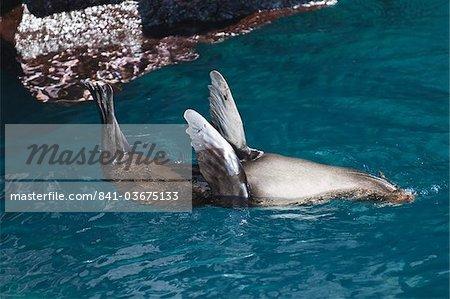 Lion de mer, (Arctocephalus galapagoensis), de la fourrure Port Egas (baie James), Isla de Santiago (île de Santiago), aux îles Galapagos, patrimoine mondial de l'UNESCO, Equateur, Amérique du Sud