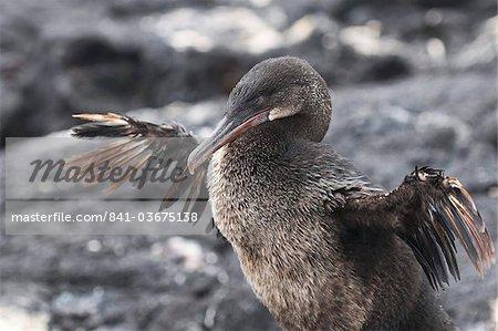 Cormoran aptère (Phalacrocorax harrisi), Point Espinosa, Isla Fernandina (Île Fernandina), aux îles Galapagos, patrimoine mondial de l'UNESCO, Equateur, Amérique du Sud