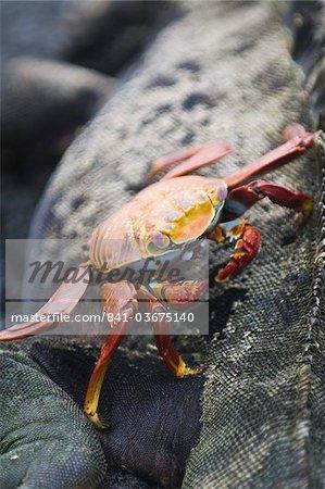 Sally lightfoot crabe (Grapsus grapsus) et iguane marin, Point Espinosa, Isla Fernandina (Île Fernandina), aux îles Galapagos, patrimoine mondial de l'UNESCO, Equateur, Amérique du Sud