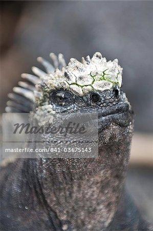 Iguane marin (Amblyrhynchus cristatus), Point Espinosa, Isla Fernandina (Île Fernandina), aux îles Galapagos, patrimoine mondial de l'UNESCO, Equateur, Amérique du Sud