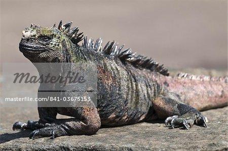 Iguane marin, Port Egas (baie James) Isla Santiago (île de Santiago), Amérique du Sud, aux îles Galapagos, Equateur
