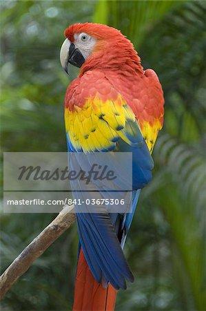 Scarlet Macaw (Ara Macao), Macaw Mountain Bird Park, Copan, Honduras, Central America