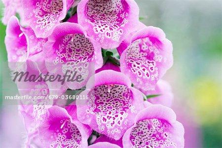 Fleurs de digitale (Digitalis purpurea « Excelsior »).