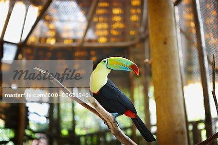 Toucan in Zoo, Costa Rica