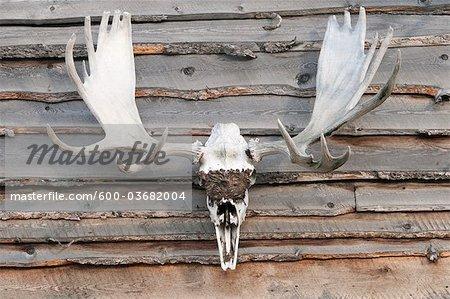 Orignal Antlers, Alaska, USA