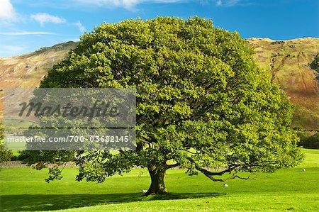 Lone Oak Tree dans le pré, Keswick, Cumbria, Angleterre