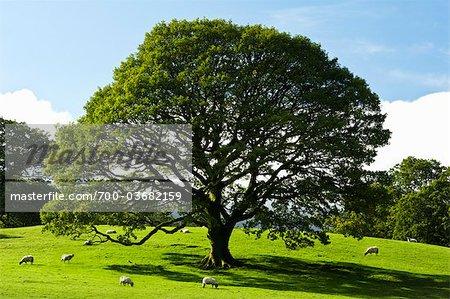 Moutons et chêne Meadow, Keswick, Cumbria, Angleterre