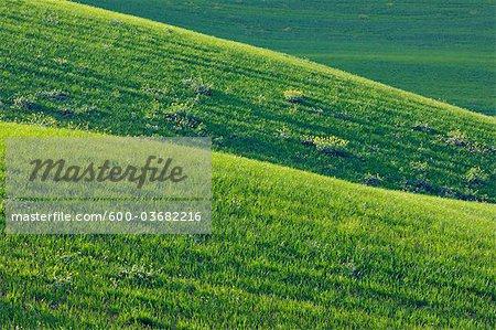 Champ de blé accidenté près de Ronda, la Province de Malaga, Andalousie, Espagne